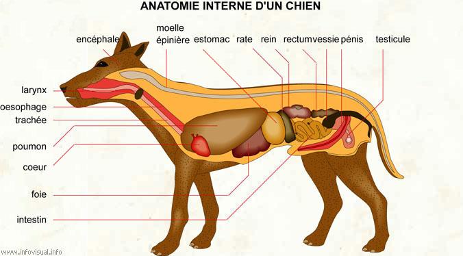 Anatomie de l'appareil digestif du chien